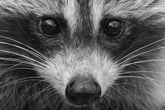 Raccoon close up in black and white. (Mel Diotte) Tags: raccoon close up wild nature black white mel diotte explore