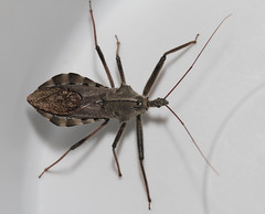 Spiky (cotinis) Tags: insect hemiptera heteroptera reduviidae arilus ariluscristatus assassinbug wheelbug northcarolina piedmont canonefs60mmf28macrousm inaturalist