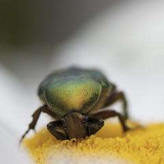 °. Cetoine dorée .° (LiliFlora11) Tags: macro insecte cetoine dorée vert jaune nature canon 550d
