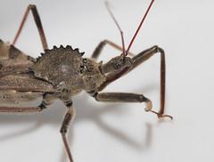 Spiky--detail (cotinis) Tags: insect hemiptera heteroptera reduviidae arilus ariluscristatus assassinbug wheelbug northcarolina piedmont canonefs60mmf28macrousm inaturalist