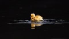 New day, new life... (petegatehouse) Tags: chick mallard yellow gold canal water