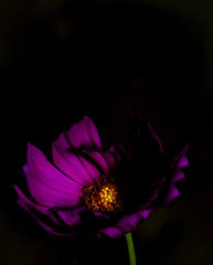 The Cosmos (pcsnowman) Tags: flower plant cosmos closeup macro outdoor nature
