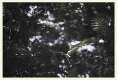 °. Feuilles d'acacia .° (LiliFlora11) Tags: nature feuille macro noir blanc arbre canon 550d