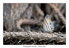 White satyr (Jan H. Boer, Nature photographer) Tags: pareuptychiaocirrhoe whitesatyr butterflies insects nature macro costarica turrúcares nikon d500 afsnikkor200500f56eedvr jan´sphotostream2019
