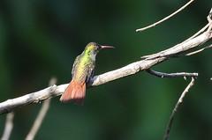 Rufous-tailed Hummingbird - Amazilia tzacatl -  Aguirre, Puntarenas, Costa Rica - June 16, 2019 (mango verde) Tags: rufoustailedhummingbird amaziliatzacatl trochilidae hummingbirds amazilia tzacatl hummingbird bird casatolteca aguirre puntarenas costarica mangoverde