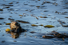 Sea otter (Thelma Gatuzzo) Tags: natureza usa eua travelphotography travel nature thelmagatuzzo© canoneosr viagem 2019 seaotter wild wildlife california monterey