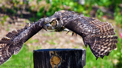 Great Horned Owl (Arvo Poolar) Tags: outdoors ontario canada scarborough torontozoo arvopoolar bird inflight wildlife birdofprey greathornedowl nature naturallight natural naturephotography nikond500