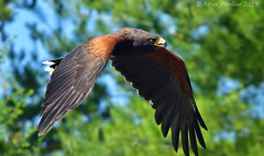 Harris Hawk (Arvo Poolar) Tags: outdoors ontario canada scarborough torontozoo arvopoolar bird inflight wildlife birdofprey raptor harrishawk nature naturallight natural naturephotography nikond500