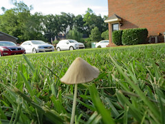 Mushroom, Ground Level. (dccradio) Tags: lumberton nc northcarolina robesoncounty outdoor outdoors outside nature natural mushroom grass lawn yard ground greenery july summer summertime thursday morning goodmorning thursdaymorning canon powershot elph 520hs car suv cars parking parkinglot sky tree trees branch branches treebranch treebranches building brick bricks shrub shrubs bushes bush door groundlevel