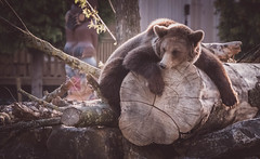 la flemme (morelux) Tags: oursbrun ours nature wild wildlife animaux animal animals feroce predateur predator pairidaiza panasonic panasonicgx80 zoo parc naturel ourson brun hainaut belgique