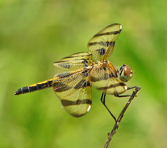 lady Halloween (Vicki's Nature) Tags: halloweenpennant female dragonfly brown golden spots wings biello georgia vickisnature canon s5 7261 return returnadorati