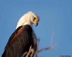 African Fish Eagle (leendert3) Tags: leonmolenaar southafrica krugernationalpark wildlife wilderness wildanimal nature naturereserve naturalhabitat bird africanfisheagle coth5 ngc