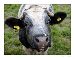 Oh, hello (G. Postlethwaite esq.) Tags: norbury staffordshire unlimitedphotos animal bovine bridge cow farm longexposure photoborder portrait riverdove water