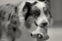 Catch a Lemur by the Ear (Jasper's Human) Tags: aussie australianshepherd dog toy lemur poem poetry