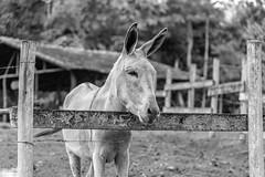 Donkey (brunogargaglione) Tags: donkey burro jegue ass blackandwhite monochrome landscape landscapes animal animals farm farmer farmland scenery rural interior nova friburgo rio de janeiro brasil brazil