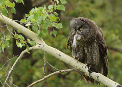 Great Gray Owl...#32 (Guy Lichter Photography - 5.1M views Thank you) Tags: canada bird birds animal animals canon wildlife alberta owl greatgrayowl owls 5d3