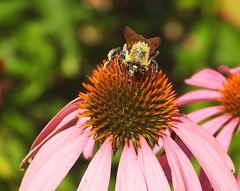 1301e pollen laden (jjjj56cp) Tags: flowers summer macro closeup garden details blossoms july bee coneflower pollen blooms p1000 coveredinpollen jennypansing coolpixp1000 nikoncoolpixp1000 coneflowerpollen wings fuzzy inthewild