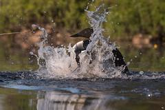 ''Splish-splash dans mon bain!''Plongeon huard-Common loon (pascaleforest) Tags: kayak water eau canada quebec faune wildlife wild nature nikon bird oiseau