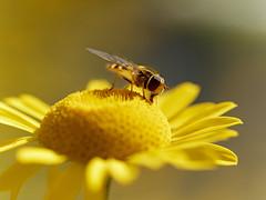 Schwebfliege / Hoverfly (Carsten Weigel) Tags: hoverfly schwebfliege insect insekt nature wildlife carstenweigel panasonicg9 olympus60mmf28macro
