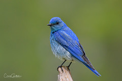 Favorite Perch (craig goettsch - out shooting) Tags: rmnp2019 bluebird mountainbluebird blue bird avian nature wildlife nikon d850