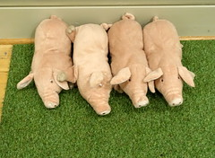 Four little piggies (Tony Worrall) Tags: stuffed yoys porky pork pigs piggies quirky fun softtoy pink squeak row inside play playful update place location uk england visit area attraction open stream tour country item greatbritain britain english british gb capture buy stock sell sale outside outdoors caught photo shoot shot picture captured ilobsterit instragram perky