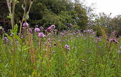 Thistles (cats_in_blue) Tags: tidsel thistle fallowfield fallow brak