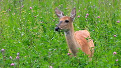 Deer Eating Red Clover (G3nie) Tags: canoneos1100d ef70300mmf456isusm aspectratio169 finland deer wild wildlife nature animal mammal forest field grass eating flower meadow clover