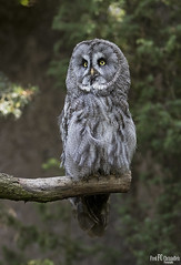 Great Gray Owl (Strix nebulosa) (Fred Christoffels) Tags: nature animals uil outdoor nordhornzoo canon 2019 owl