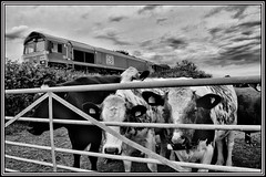 CATTLE / SHED (OLD GIT WITH A CAMERA) Tags: class66 66078 kingsburysdgstocardifftidaltc