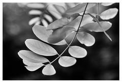 Black locust leaves (leo.roos) Tags: bw lens blad leitz leica leaves leaf noiretblanc a7 1949 robiniapseudoacacia blacklocust collapsible mmount falseacacia darosa valseacacia elmarm5035 leoroos witteacacia leitzelmarmf5cm135