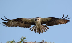 Osprey (JDA-Wildlife) Tags: birds birdsofprey raptors osprey nikon nikond7100 tamronsp150600mmf563divc jdawildlife johnny portrait closeup eyecontact wow whatbirdbestofday incredible brilliant