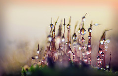 Воздушные замки (marussia1205) Tags: мох капли макро moss drops macro