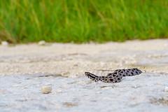 Dusky Pygmy Rattlesnake (Michael R Hayes) Tags: pygmyrattlesnake rattlesnake sistrurusmiliarius sistrurus snake serpent venomous herpetology florida
