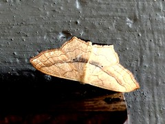 Small Blood Vein 11.7.19 (ericy202) Tags: small blood vein moth wall titchwell rspb