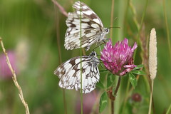 Marbled Whites (roger_forster) Tags: marbledwhite butterfly melanargiagalathea farleymount winchester hampshire insect