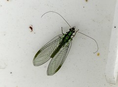 Lacewing 11,7,19 (ericy202) Tags: lacewing greenblack holme noa
