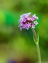 Mal wieder ein Blümchen ... von unterwegs (Mike Reichardt) Tags: flower flowerpower farben farbenfroh blume blüte blossom nahaufnahme nature nah natur closeup colors close macro makro garden garten plant pflanzen