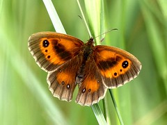 Gatekeeper 11.7.19 (ericy202) Tags: gatekeeper butterfly hedge brown titchwell rspb