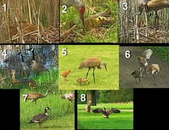 Crane Family: Sadly, the Canada Goose adoptee was found dead on the Golf Course, see below for timeline on pics) (Photos by the Swamper) Tags: birds crane sandhillcrane gosling