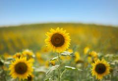 Girasoli nel Monferrato (bluestardrop - Andrea Mucelli) Tags: girasoli girasole sunfo sunflower sunflowers monferrato piemonte piedmont italia italy