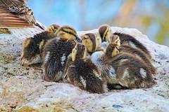 Quackers 2 (Monkeystyle3000) Tags: mallard ducks birds ducklings wildlife nature