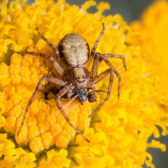 Spider and fly view 3 (kimbenson45) Tags: arachnid brown closeup differentialfocus eyes flowers fly insect macro nature outdoors plant predator prey shallowdepthoffield spider wildlife yellow