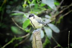 Great tit (dianeharrison217) Tags: summer tree bird tit wildlife greattit penningtonflash