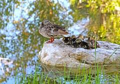 Quackers 3 (Monkeystyle3000) Tags: mallard ducks birds ducklings wildlife nature
