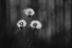 the dark side of nature... (Jess Feldon) Tags: blackandwhite nature fence mono hff lookslikefilm naturecrap fencefriday happyfencefriday jessfeldon