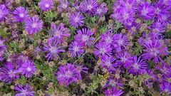 VENTIMIGLIA - Giardini Hanbury (cannuccia) Tags: fiori flowers natura nature viola giardini ventimiglia giardinihanrury liguria colori petali
