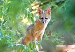Scar (Monkeystyle3000) Tags: gray fox wildlife desert animal