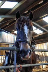Ben in the Barn (meniscuslens) Tags: transwales trails section d welsh cob wales talgarth horse pony stable
