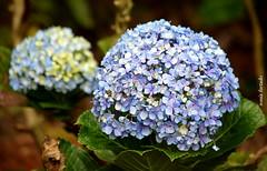 Quinta-flower (sonia furtado) Tags: quintaflower flor flower hortência guaramiranga ce ceará nordeste ne brasil brazil soniafurtado frenteafrente