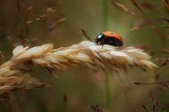 And they still exist.....Hard to find some here in this area. Evantually I found some by chance today. (VintageLensLover) Tags: ladybug marienkäfer natur outdoor insekt käfer bokeh dof schärfeverlauf schärfentiefe